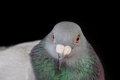 Chiuda sulla fattura e sul fronte dell'uccello maschio del piccione sul nero fotografie stock