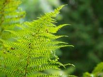 Chiuda sulla felce in una foresta verde Immagine Stock