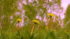 Chiuda sulla fioritura dei denti di leone gialli sul campo verde al giorno di estate stock footage