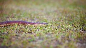 Chiuda sulla focalizzazione sul serpente piccolo che striscia attraverso l'erba archivi video