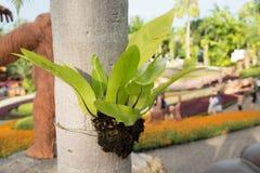 Chiuda sulla foglia di una felce del nido del ` s dell'uccello che appende sull'albero immagine stock