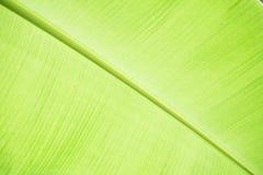 Chiuda sulla foglia luminosa della banana Immagini Stock