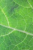 Chiuda sulla foglia verde della zucca Immagine Stock