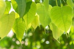 Chiuda sulla foglia verde di Bodhi su stile fresco della natura dell'albero Fotografia Stock Libera da Diritti
