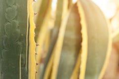 Chiuda sulla foglia verde e gialla del cactus Fotografia Stock Libera da Diritti