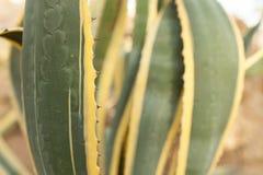 Chiuda sulla foglia verde e gialla del cactus Immagine Stock Libera da Diritti