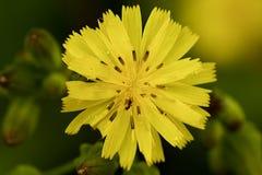 Chiuda sulla foschia gialla dei petali del fiore selvaggio Fotografia Stock