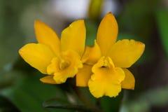 Chiuda sulla foto del cattleya giallo fotografia stock libera da diritti