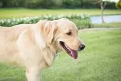 Chiuda sulla foto del cucciolo di golden retriever con il collare verde in Th Fotografia Stock