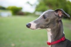 Chiuda sulla foto del cucciolo del levriero italiano con il sittin rosso del collare fotografia stock