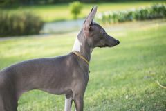 Chiuda sulla foto del cucciolo del levriero italiano con lo sguardo del collare dell'oro Immagini Stock Libere da Diritti