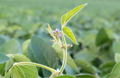 Chiuda sulla foto del fiore della soia Agricoltura della soia Immagini Stock Libere da Diritti