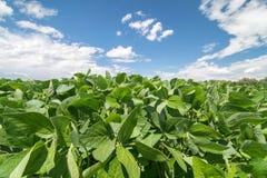 Chiuda sulla foto del giacimento della soia Agricoltura della soia Fotografia Stock Libera da Diritti