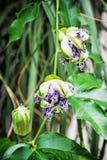 Chiuda sulla foto del incarnata della passiflora, scena naturale, verticale Fotografie Stock