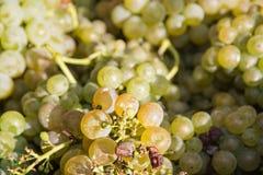 Chiuda sulla foto del mazzo di uva, frutta succosa dolce Immagine Stock