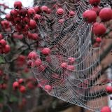 Chiuda sulla foto del web del ` s del ragno con le gocce di rugiada che pendono da di melo rosso del granchio nell'autunno immagini stock libere da diritti