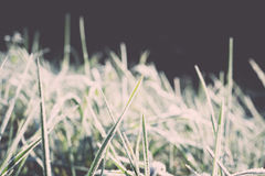 Chiuda sulla foto dell'erba gelida di mattina, raffreddante la mattina Immagine Stock Libera da Diritti