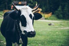 Chiuda sulla foto della mucca con la campana immagini stock libere da diritti