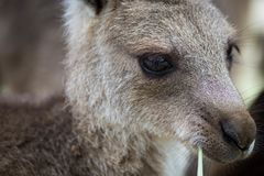 Chiuda sulla foto di un canguro che mangia l'erba Vista laterale con l'occhio molto tagliente fotografia stock