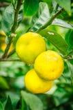 Chiuda sulla frutta arancio del grande mandarino in azienda agricola arancio a Jeju islan Fotografie Stock Libere da Diritti