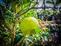 Chiuda sulla frutta arancio del grande mandarino in azienda agricola arancio a Jeju islan Fotografia Stock