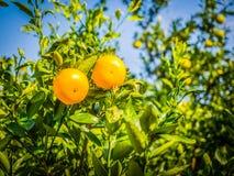 Chiuda sulla frutta arancio del grande mandarino in azienda agricola arancio a Jeju islan Immagine Stock