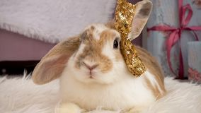 Chiuda sulla fucilazione del coniglio beige lanuginoso stock footage