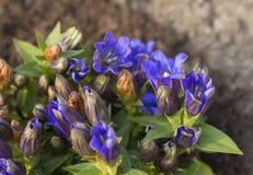 Chiuda sulla genziana di fioritura blu sulla sporcizia marrone Fotografie Stock