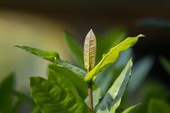 Chiuda sulla giovane foglia verde del fiore rosso di ixora fotografie stock libere da diritti