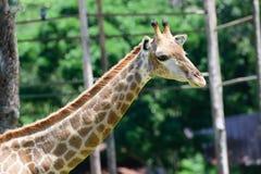Chiuda sulla giraffa sul fondo verde dell'albero Fotografie Stock