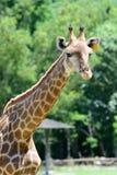 Chiuda sulla giraffa sul fondo verde dell'albero Fotografia Stock