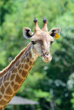 Chiuda sulla giraffa sul fondo verde dell'albero Fotografie Stock Libere da Diritti