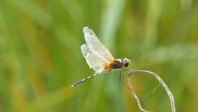 Chiuda sulla libellula del colpo nel posto della natura dell'Asia tropicale video d archivio