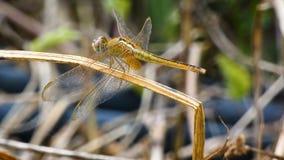 Chiuda sulla libellula del colpo nel posto della natura dell'Asia tropicale stock footage