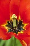 Chiuda sulla macro del tulipano rosso in piena fioritura Immagine Stock