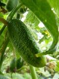 Chiuda sulla macro della frutta di marinatura del cetriolo Fotografie Stock