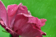Chiuda sulla macro goccia di acqua eccellente del colpo sulla foglia e sul fiore Immagini Stock