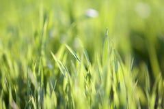 Chiuda sulla macro immagine astratta delle lame verde chiaro pulite fresche luminose dell'erba che crescono sul fondo erboso vago Fotografia Stock Libera da Diritti