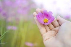 Chiuda sulla mano della donna che tiene il bello fiore porpora dell'universo in sua palma Immagine Stock