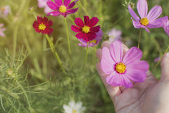 Chiuda sulla mano della donna che tiene il bello fiore rosa dell'universo nella h Fotografia Stock Libera da Diritti