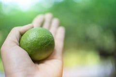 Chiuda sulla mano della lavoratrice agricola asiatica che tiene il limone verde fresco sul fondo del giardino di verde del bokeh Immagine Stock
