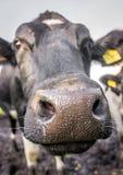 Chiuda sulla mucca Fotografia Stock