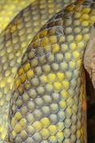 chiuda sulla pelle di serpente Moluccan del pitone immagini stock libere da diritti