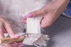 Chiuda sulla pelliccia di spazzolatura dei peli di cane del pettine Fotografie Stock