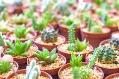 Chiuda sulla pianta del cactus in vaso Fotografia Stock