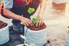Chiuda sulla pianta del cetriolo della semina della donna della mano su cocopeat in greenho Fotografia Stock