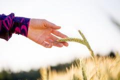 Chiuda sulla pianta del grano della tenuta della mano della donna fotografia stock
