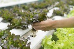 Chiuda sulla pianta della verdura di coltura idroponica della tenuta della mano Immagine Stock