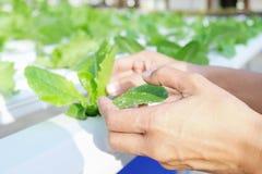 Chiuda sulla pianta di coltura idroponica della tenuta della mano Immagine Stock Libera da Diritti
