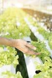 Chiuda sulla pianta di coltura idroponica della tenuta della mano Fotografie Stock Libere da Diritti
